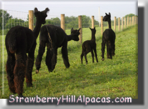 Our Four Black Alpacas Walking Together in a Line - click to see their names.