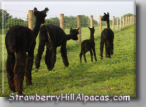 Our four black alpacas walking together