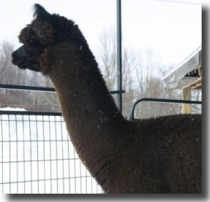 Alpaca Mignonette at 20 months old