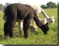 Black alpaca named Mignonette at age 13 months old