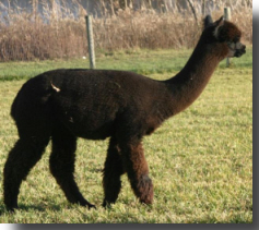 Black alpaca named Mignonette at age 17 months