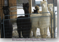 Pucci, Minnie, Akida and Earliglow female alpacas