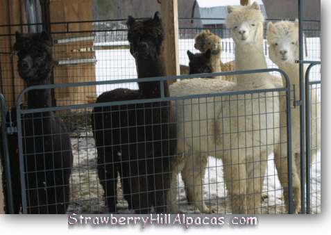 Female alpaca group watch curiously as their photo is taken.