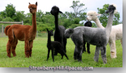 Newborn Alpaca with Mother and Other Alpacas in Pasture