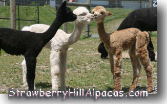 Alpaca cria friends