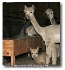 strawberryhillalpacas.com alpacas eating hay