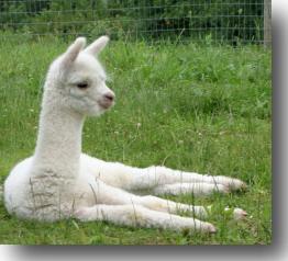 Alpaca cria - strawberryhillalpacas.com
