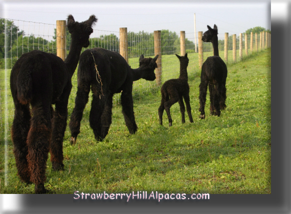 Alpacas with black fleece at Strawberry Hill Alpacas