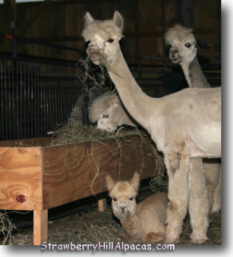 Alpacas eating hay