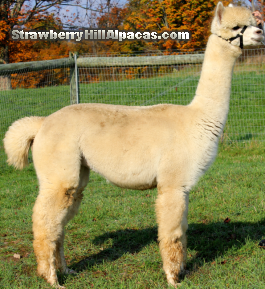 Alpaca named Rhapsody at 19 months old