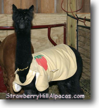 The first coat for alpacas that I made.