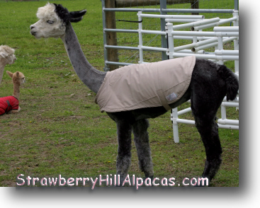 A coat for an alpaca made from a secondhand thrift shop raincoat.