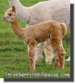Acadia alpaca when she was 6 weeks old.