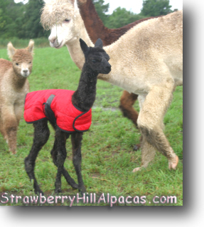 Newborn cria, just a few hours old.