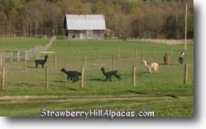 Alpacas running in the farm pasture - strawberryhillalpacas.com