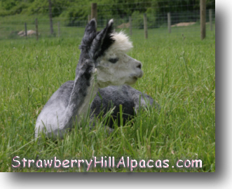 Gray alpaca in the Strawberry Hill Alpaca farm pasture