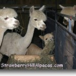 In the alpaca barn - cria eating hay on the Strawberry Hill Alpaca farm