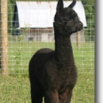 Black alpaca standing in the farm pasture with a barn in the background