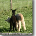 Two cria alpacas on the Strawberry Hill Alpacas farm