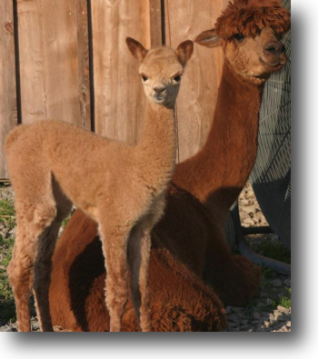 Four day old alpaca with her mother