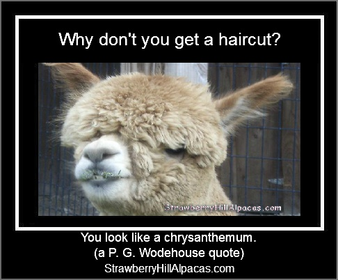 Alpaca hairdo meme quote about a haircut