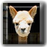 tan color cria alpaca baby
